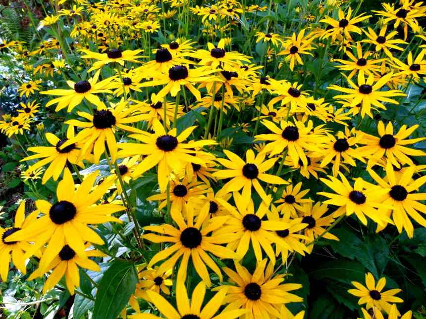 Black eyed Susan cluster low res