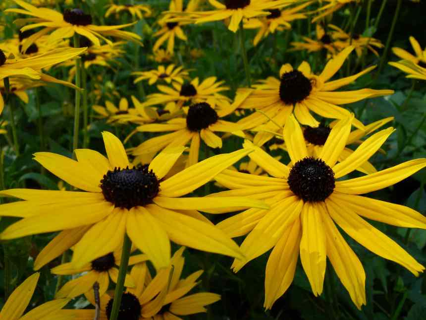 Black eyed Susan eyes low res