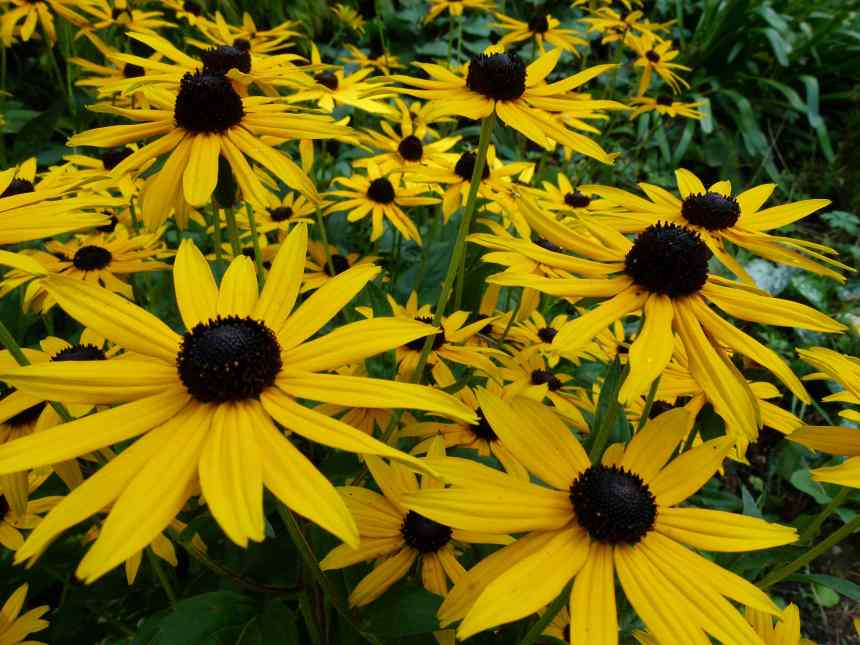 Black eyed Susan group low res