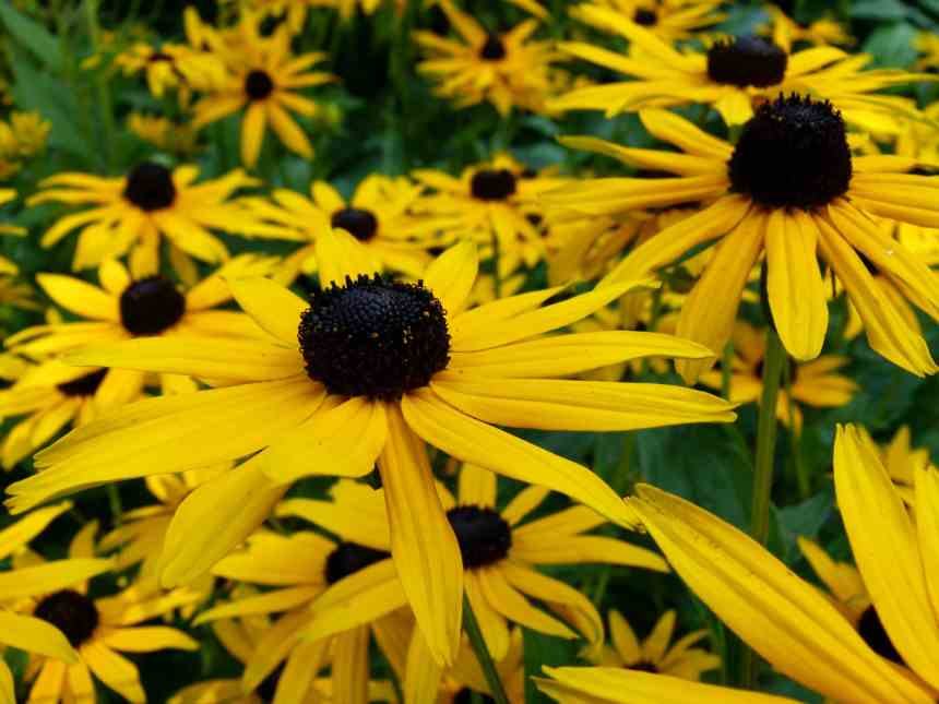 Black eyed Susan in front  low res