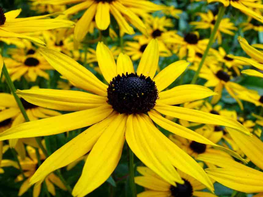 Black eyed Susan single low res