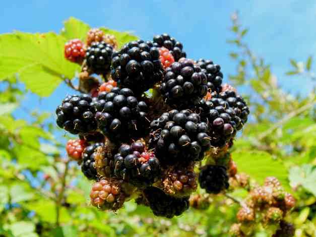 Blackberries ripening 4 low res