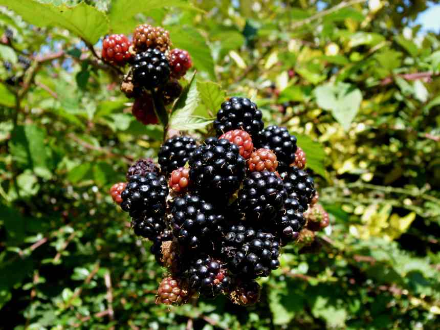 Blackberries ripening 5 low res