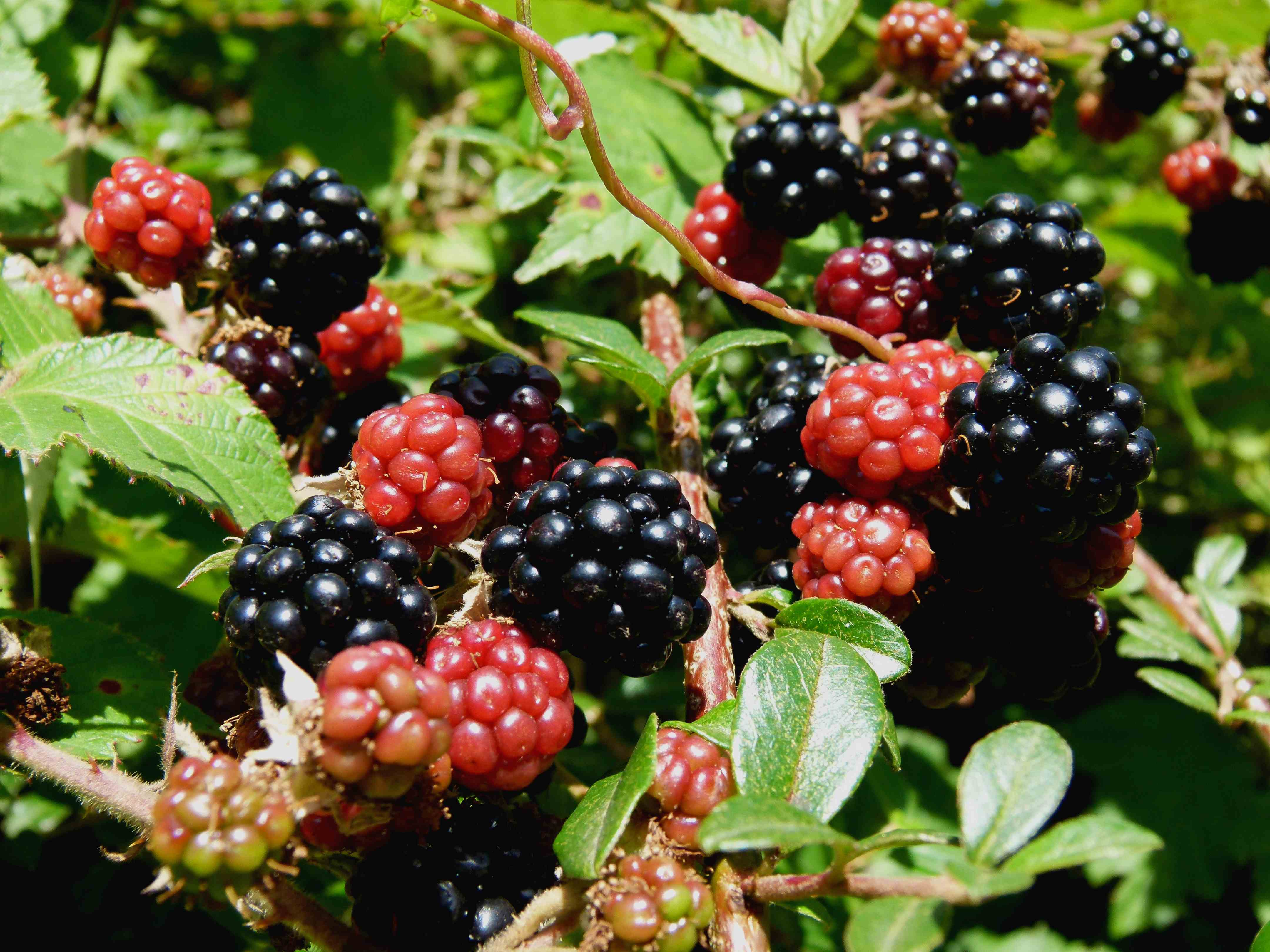 black berries What you eat can influence your blood sugar levels high blood sugar can lead to type 2 diabetes blackberries pack a nutritional punch because they contain a number of polyphenols, plant substances that have health benefits, along with fiber and a low-carbohydrate count.