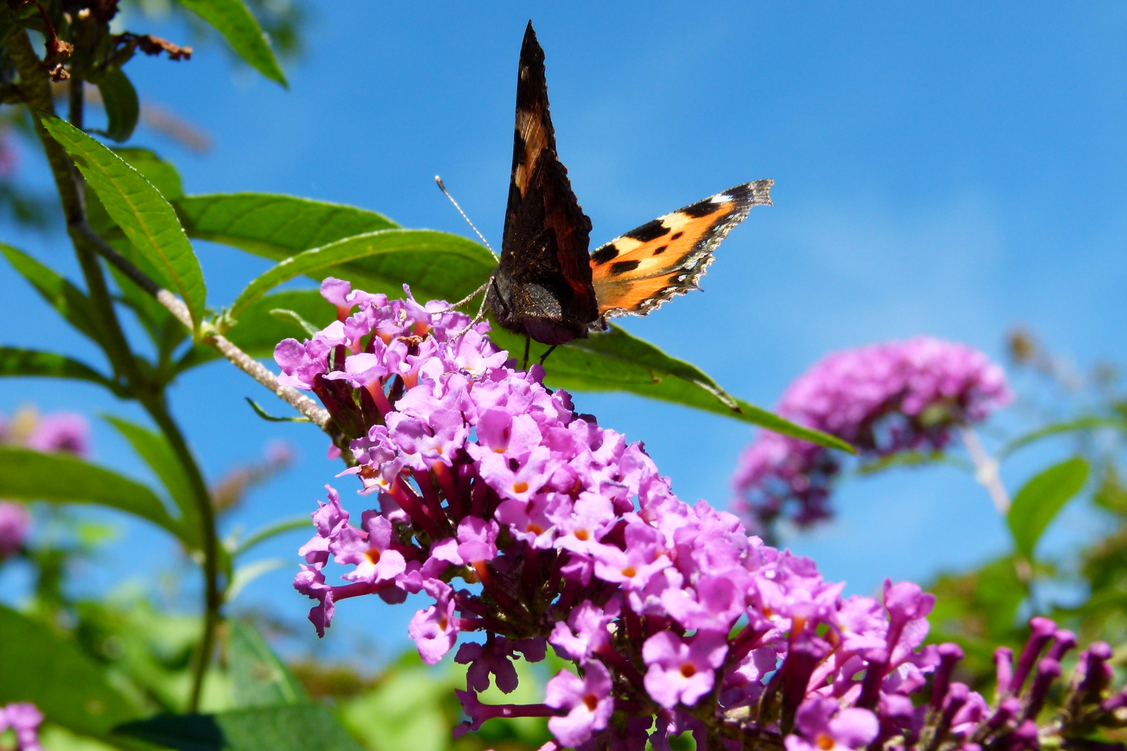 Buddleia Fables And Flora Lidia Butterfly Tortoise Take Off