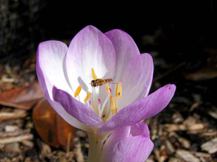 Crocus Autumn hover fly  low res
