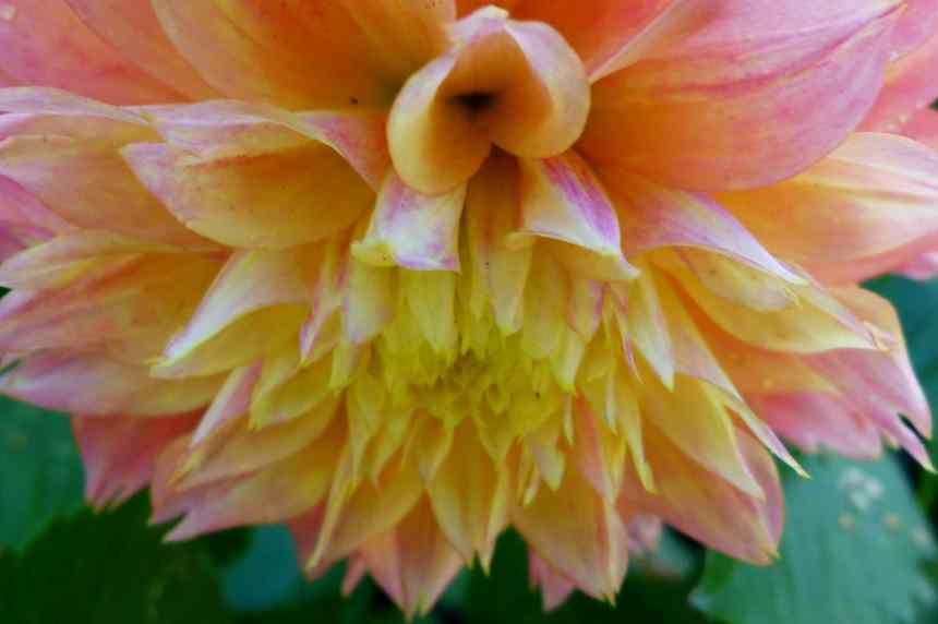 Dahlia down low res