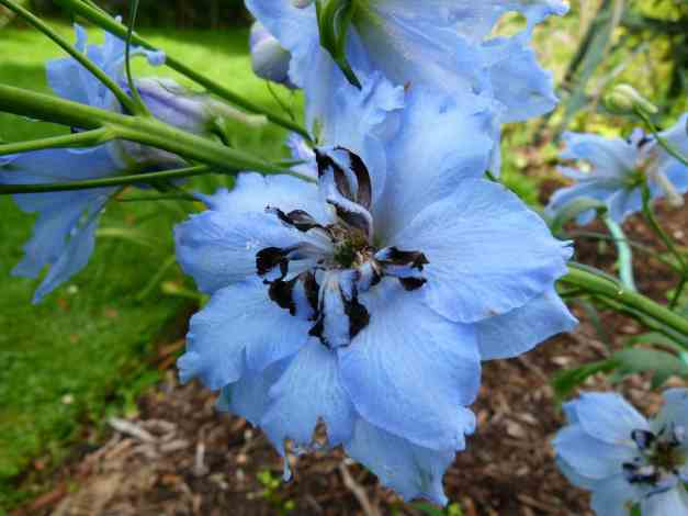 Delphinium blue 2 low res