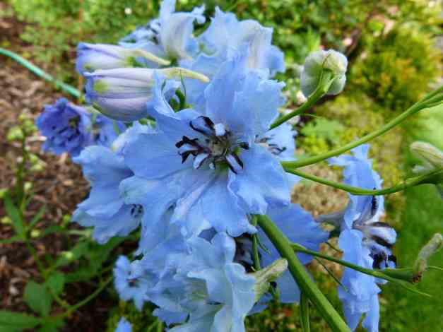 Delphinium blue 3 low res