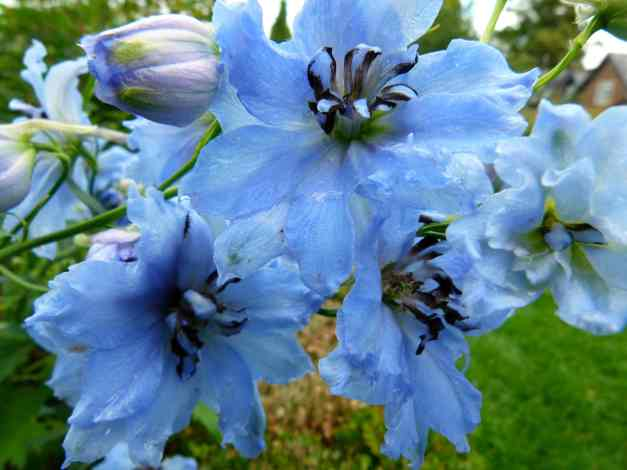 Delphinium blue 4 low res