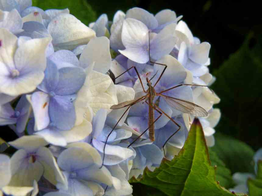 Hydrangea blue bug low res
