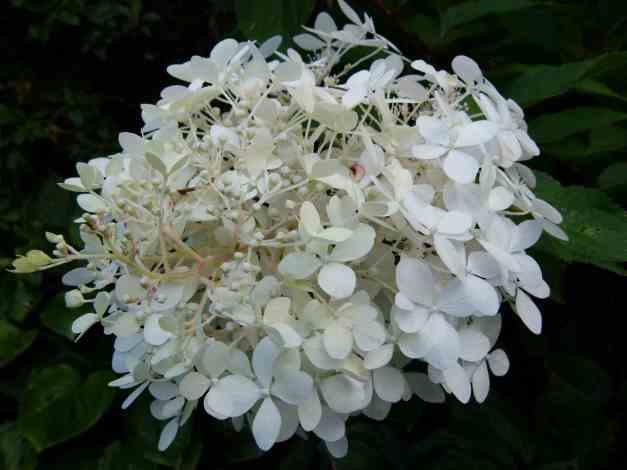 Hydrangea white 2 low res