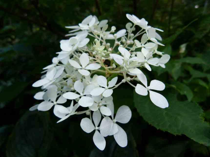Hydrangea white  low res