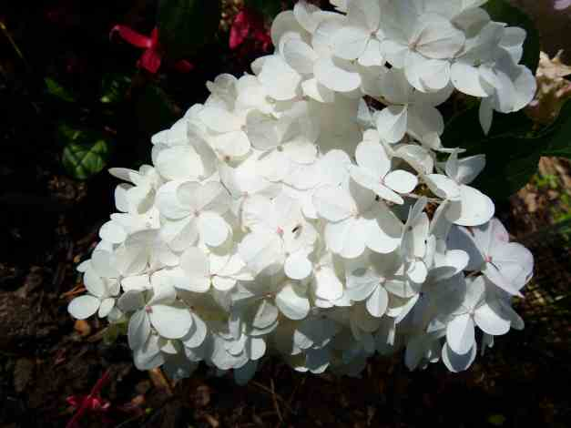 Hydrangea white pink low res