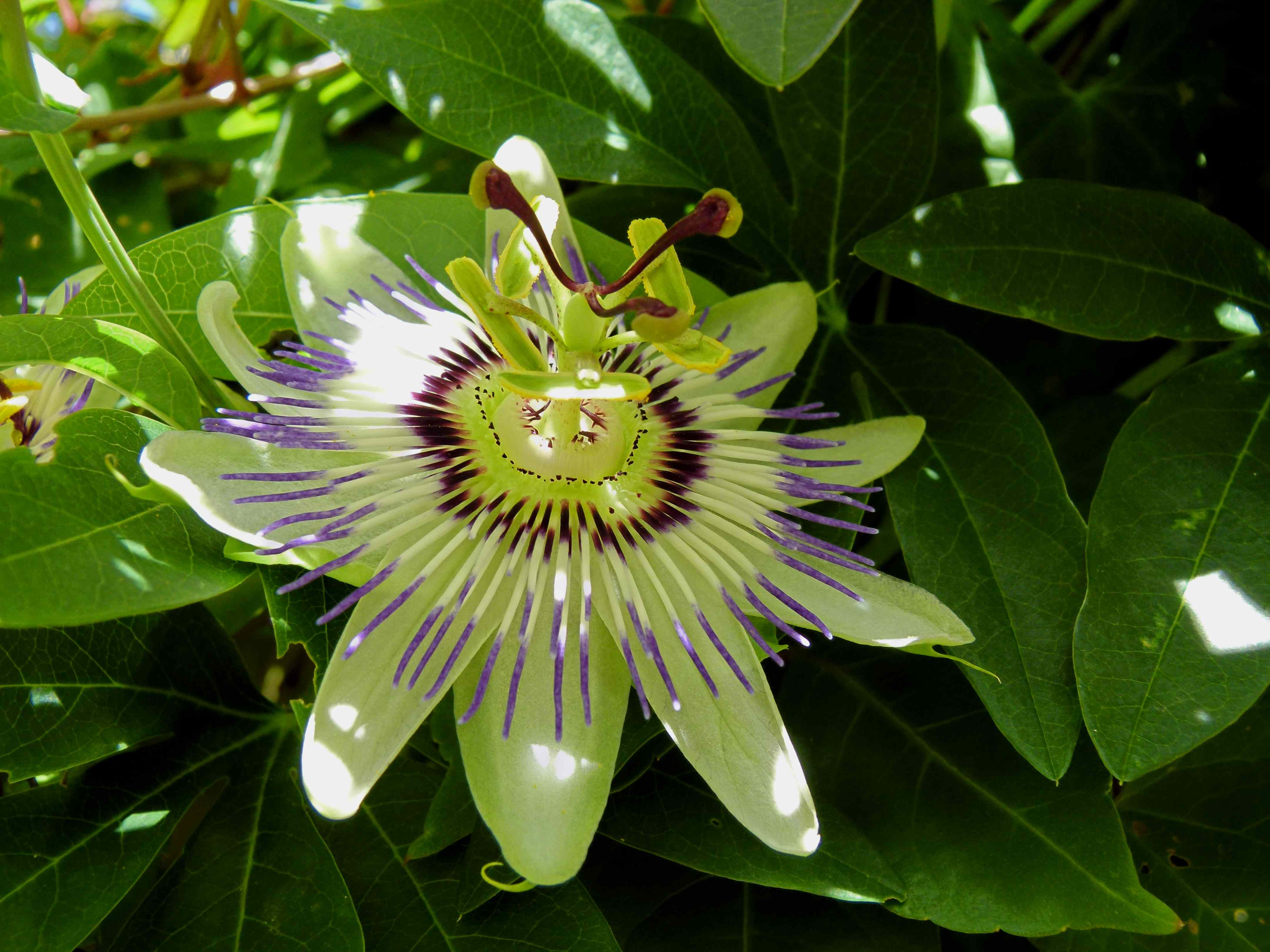 ANOTHER BEAUTIFUL DAY Key West Lou Passion fruit flower photo
