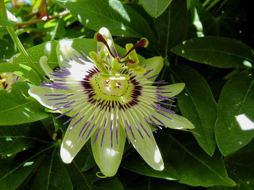 Passion flower dappled sunlight low res