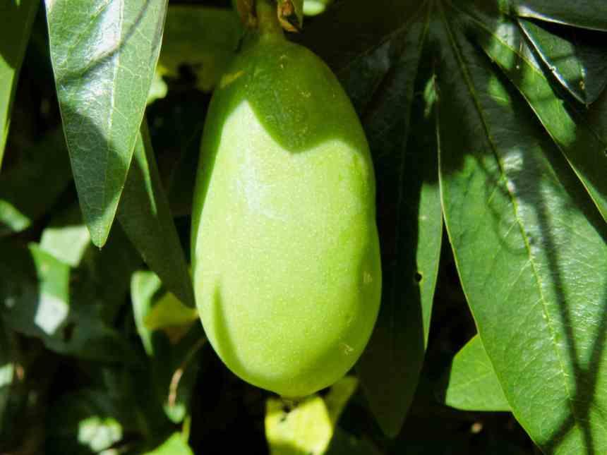 Passion fruit 1 low res