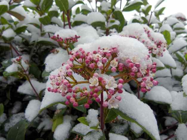 pink virburnum in snow low res