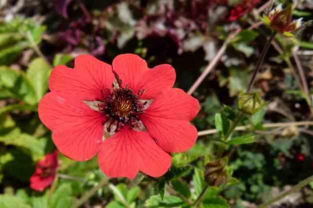 Potentilla Gibsons Scarlet 2 low res