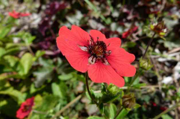 Potentilla Gibsons Scarlet low res
