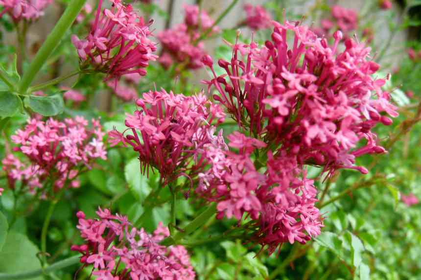 Red Valerian low res1