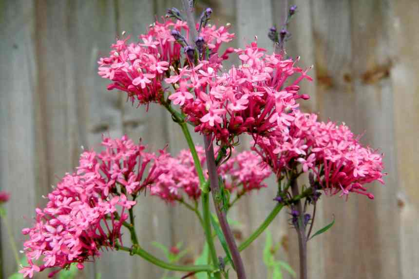 Red Valerian4 low res