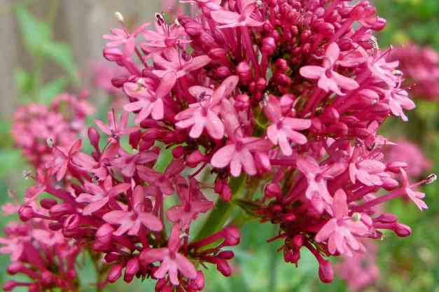 Red Valerian5 low res