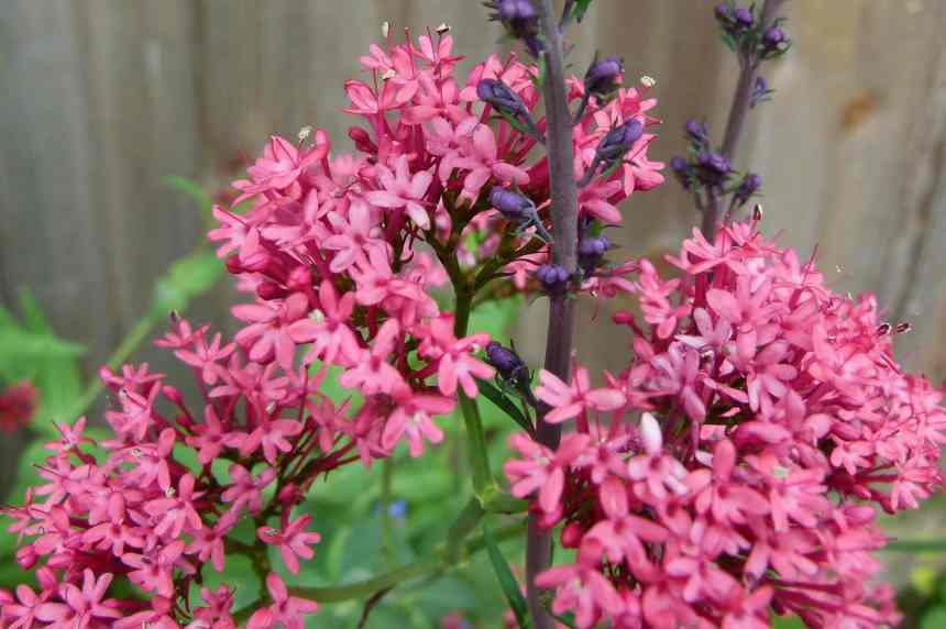 Red Valerian7 low res