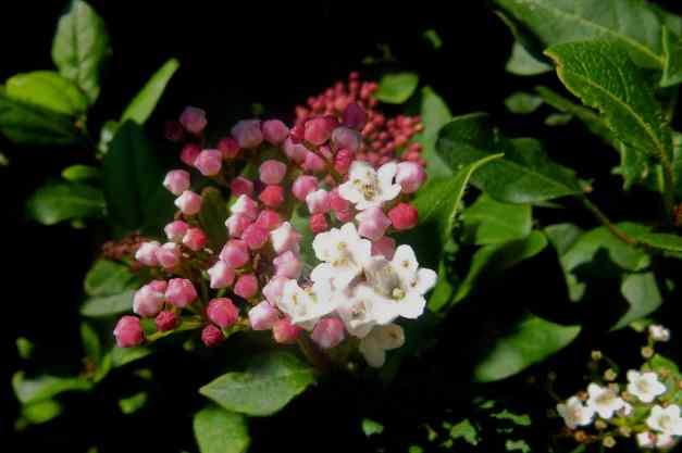 Viburnum Shrub pink low res