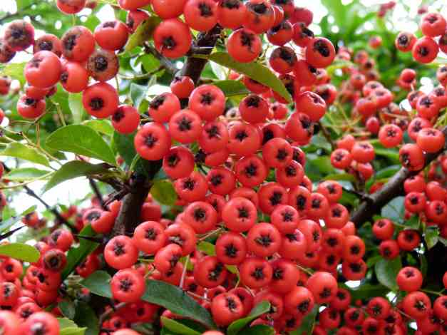 Berries orange low res