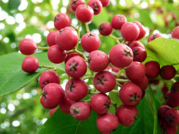Berries red low res