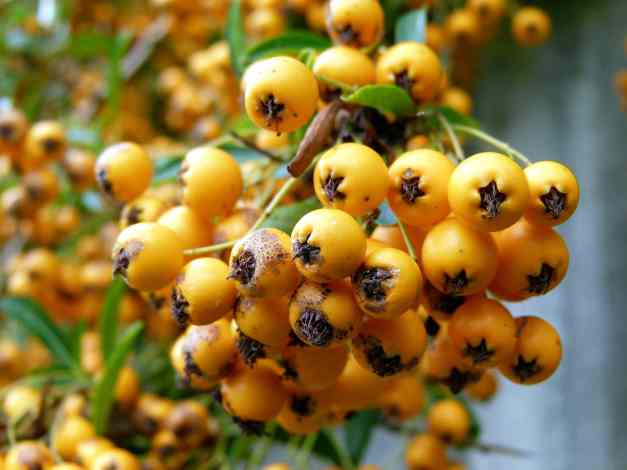 Berries yellow 2 low res
