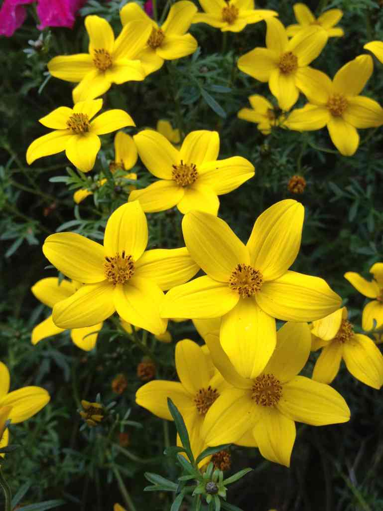 Bidens ferulifolia low res