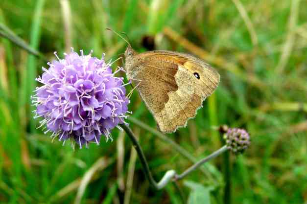 Devil's-Bit Scabious Brown meadow low res