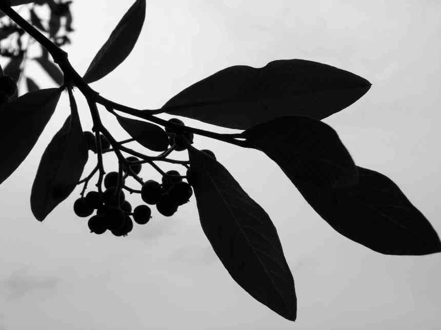 Firethorn Berries red bw low res