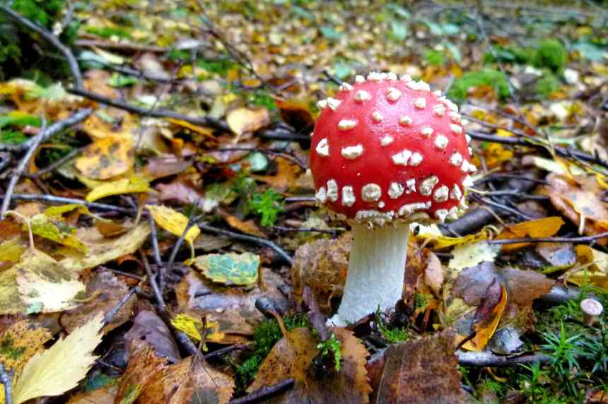 Fly Agaric Mushroom 6 mini low res