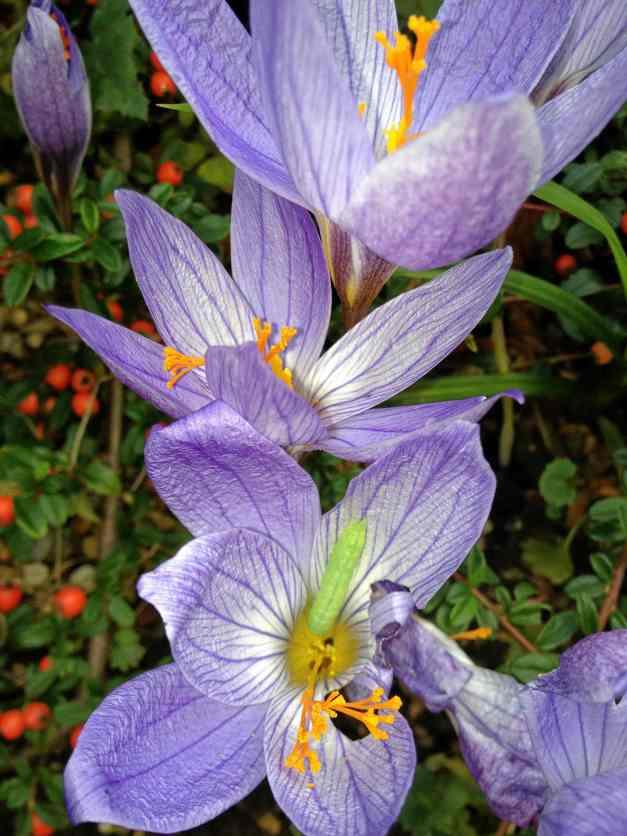 Meadow Saffron catepillar low res