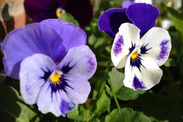 Pansy 2 tonelow res
