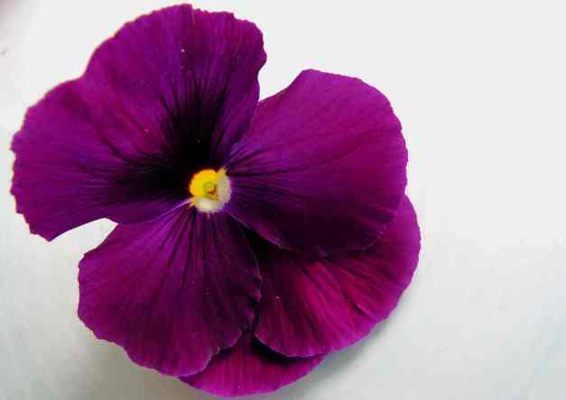 Pansy purple2 low res