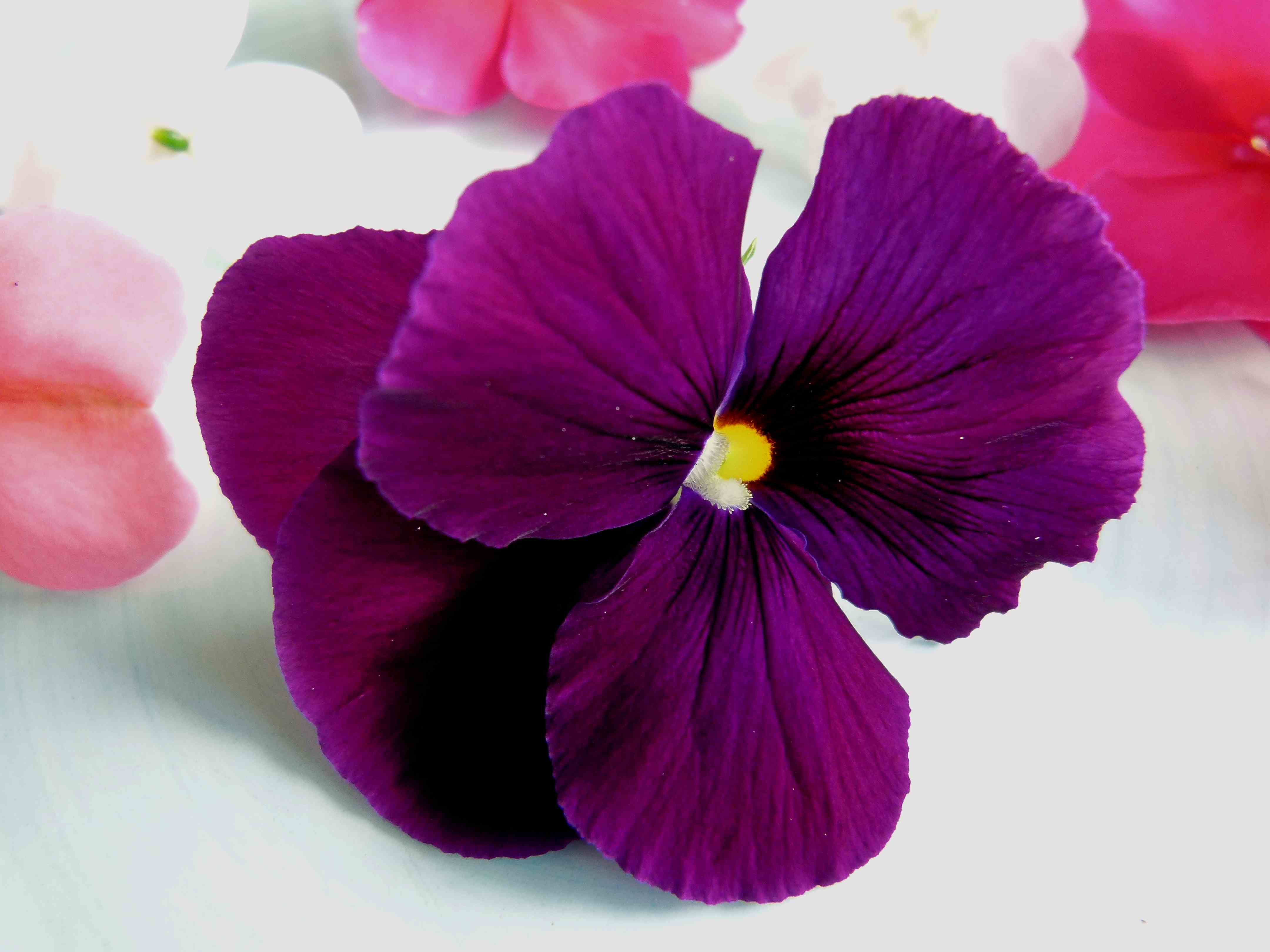 Pretty Purple Pansy | Fables and Flora