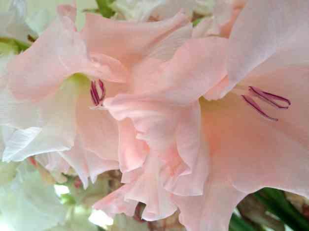 Pink Gladioli low res