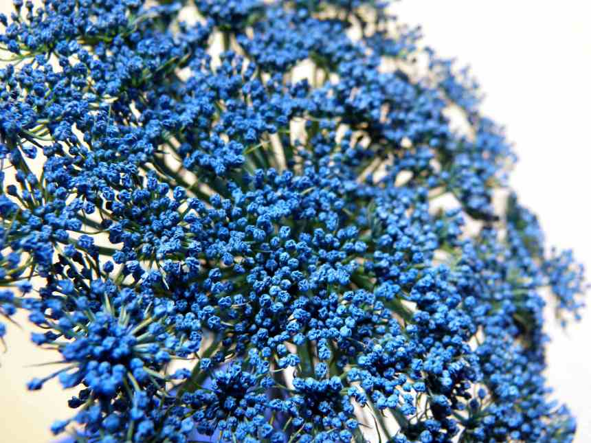 Wild Carrot flower blue10 low res