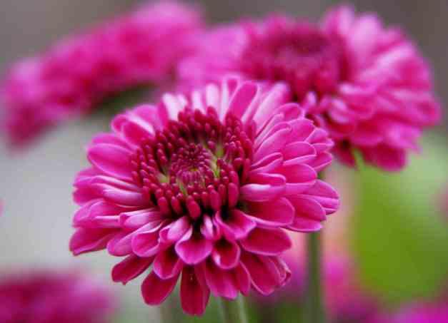 Chrysanthemum pink low res