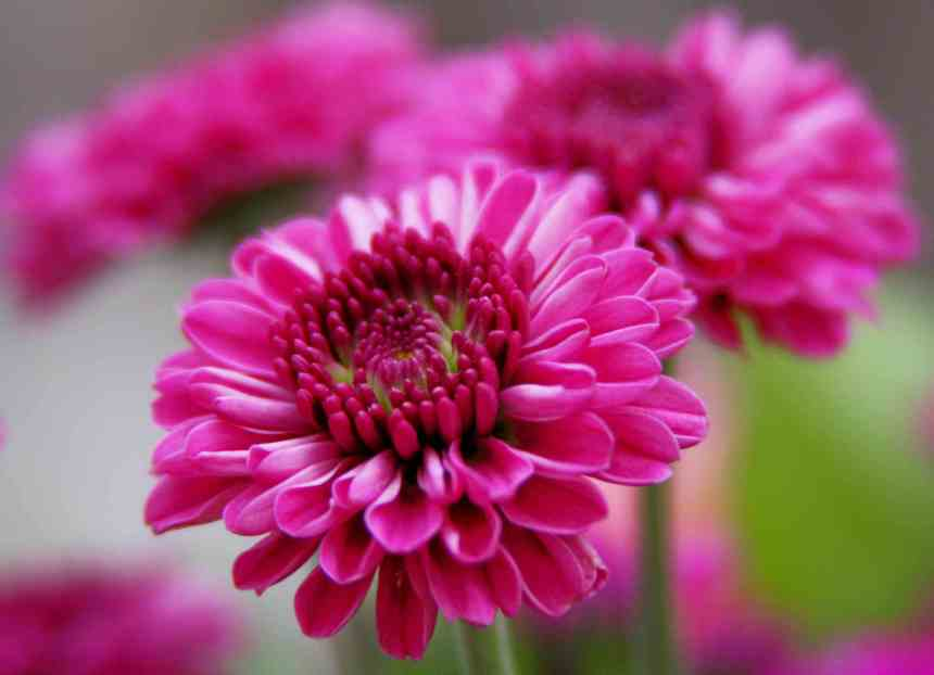 Chrysanthemum pink low res