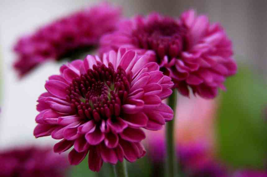 Chrysanthmum pink 2 low res