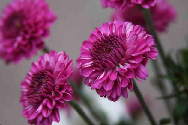 Chrysanthmum pink 3 low res