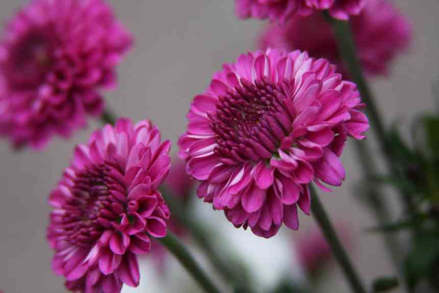 Chrysanthmum pink 3 low res