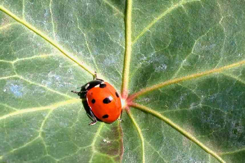 Ladybird on ivy low res