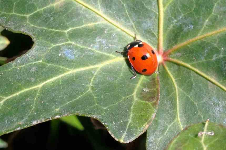 Ladybird on ivy2 low res