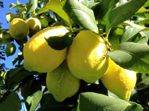 Lemons on a tree low res